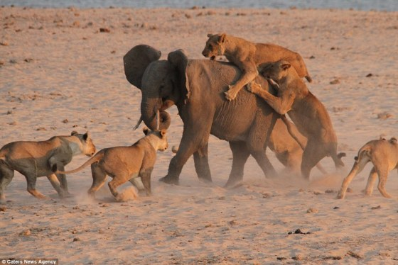 Habár nagyon fiatal, mégis sikerül ennek a kis elefántnak leküzdenie 14 éhes oroszlánt! Ezt nézd!