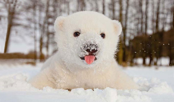 animals-and-first-snow-baby-polar-bear__700