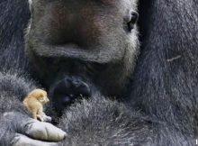 Nemcsak szeretkeznek, ölnek is a bonobók
